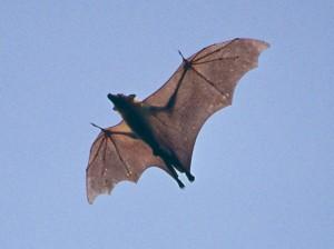 Fruit Bats 02